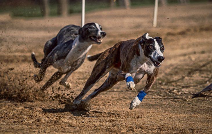 L'arthrite du chien