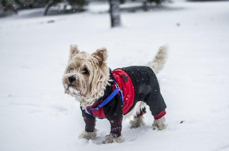 Les avantages d'un manteau pour chien